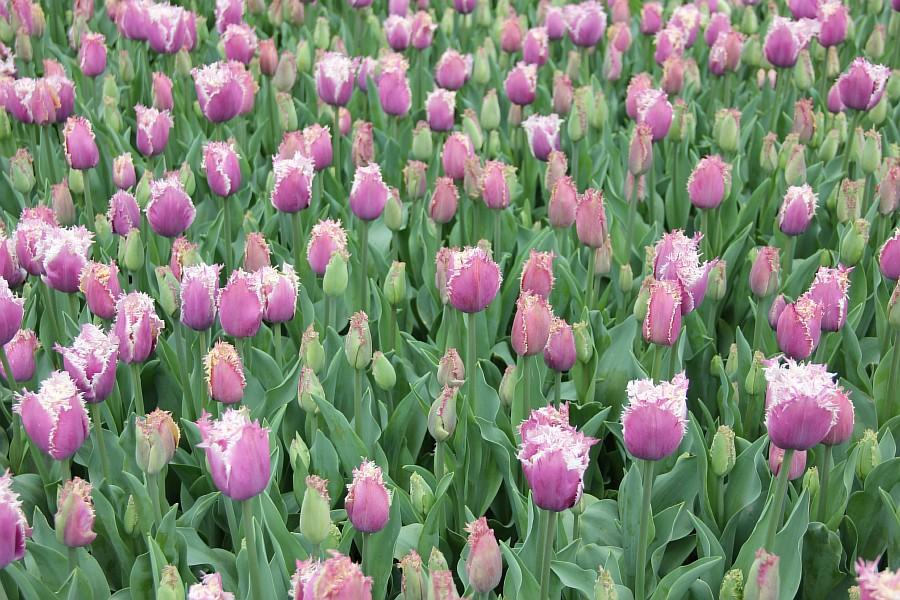 Цветы, тюльпаны, Эмирган, Стамбул, путешествия, Аксанов Нияз, фотография, Emirgan, Istanbul, kukmor, of IMG_4475