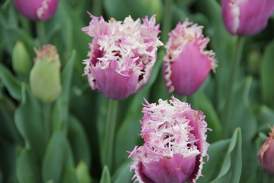 Цветы, тюльпаны, Эмирган, Стамбул, путешествия, Аксанов Нияз, фотография, Emirgan, Istanbul, kukmor, of IMG_4476