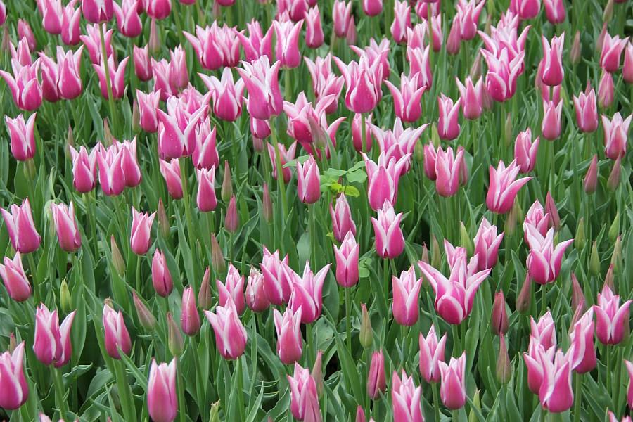 Цветы, тюльпаны, Эмирган, Стамбул, путешествия, Аксанов Нияз, фотография, Emirgan, Istanbul, kukmor, of IMG_4478