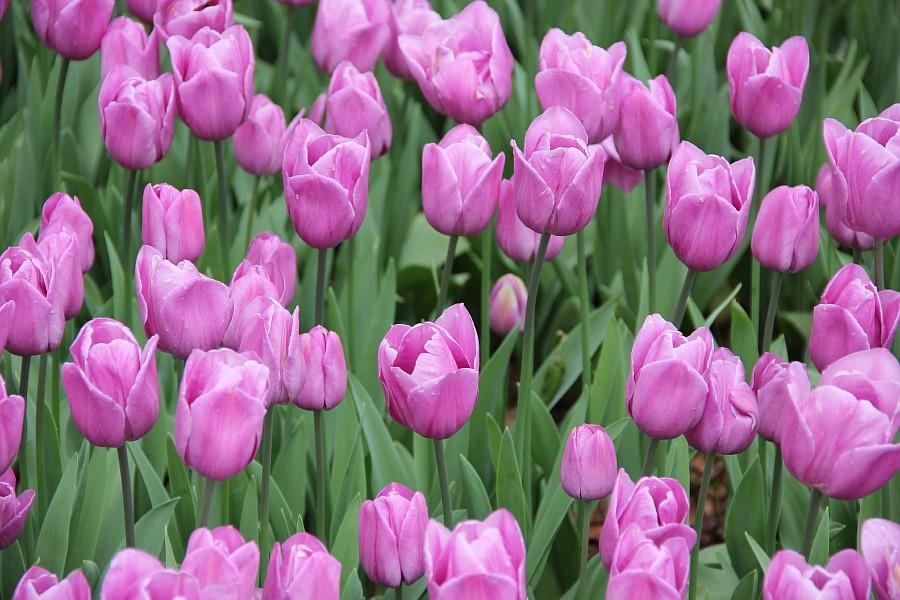 Цветы, тюльпаны, Эмирган, Стамбул, путешествия, Аксанов Нияз, фотография, Emirgan, Istanbul, kukmor, of IMG_4479