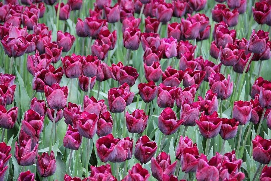 Цветы, тюльпаны, Эмирган, Стамбул, путешествия, Аксанов Нияз, фотография, Emirgan, Istanbul, kukmor, of IMG_4480