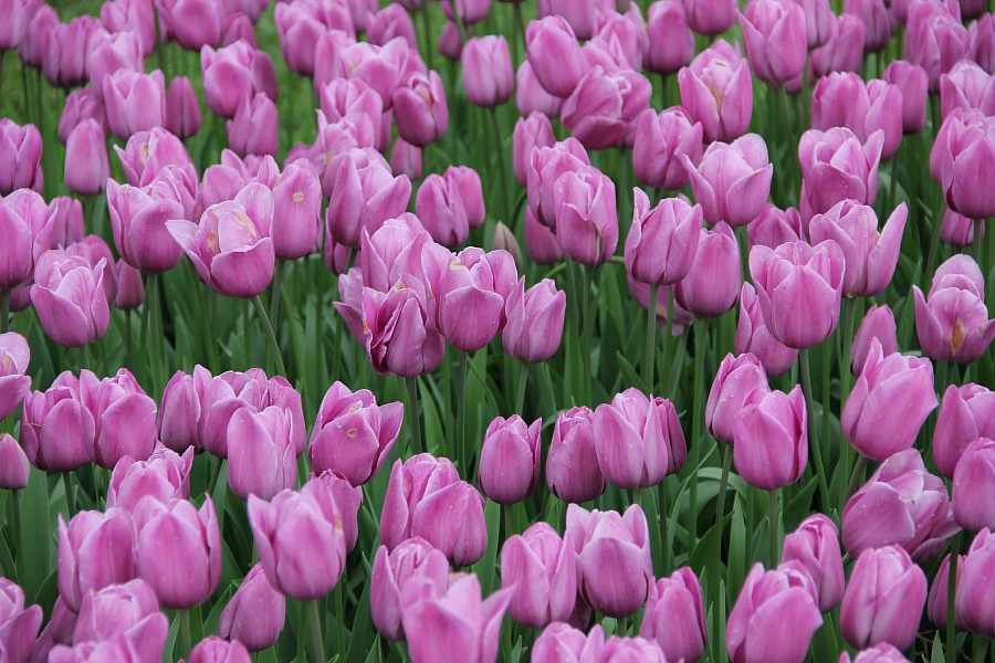 Цветы, тюльпаны, Эмирган, Стамбул, путешествия, Аксанов Нияз, фотография, Emirgan, Istanbul, kukmor, of IMG_4481