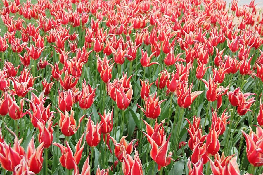 Цветы, тюльпаны, Эмирган, Стамбул, путешествия, Аксанов Нияз, фотография, Emirgan, Istanbul, kukmor, of IMG_4482
