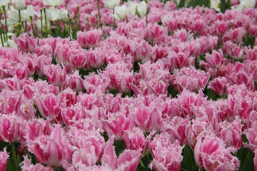 Цветы, тюльпаны, Эмирган, Стамбул, путешествия, Аксанов Нияз, фотография, Emirgan, Istanbul, kukmor, of IMG_4494