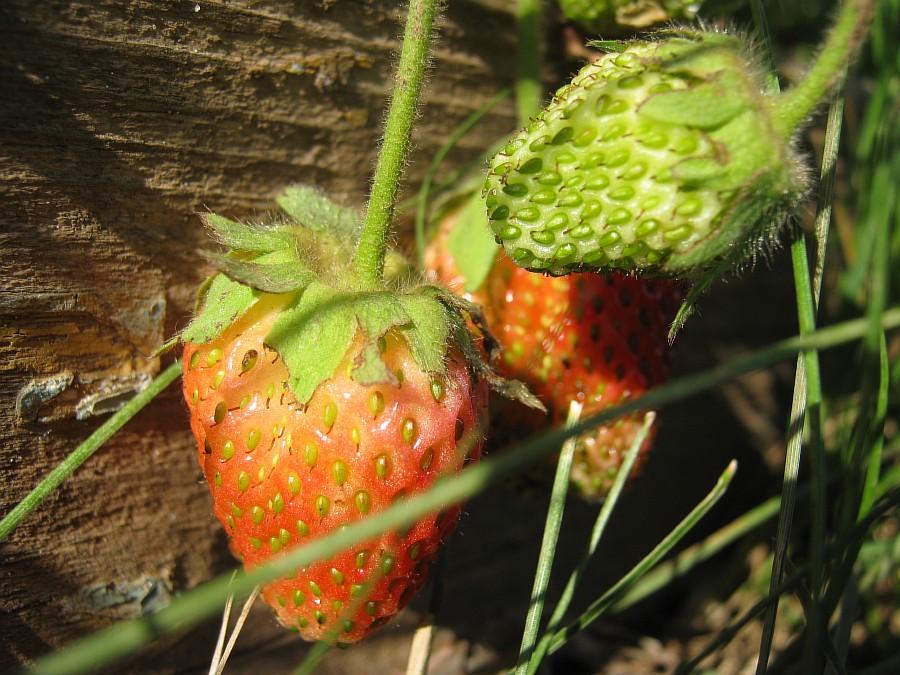 Кукмор, фотография, Аксанов Нияз, ягоды, природа, огород, сад, of IMG_2111