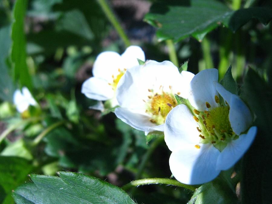 Кукмор, фотография, Аксанов Нияз, ягоды, природа, огород, сад, of IMG_2116