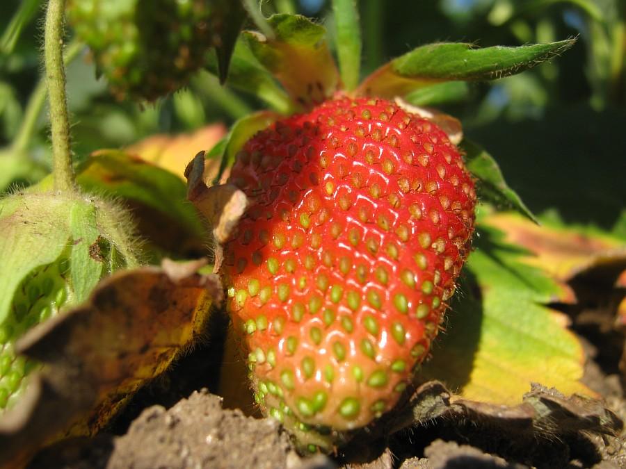 Кукмор, фотография, Аксанов Нияз, ягоды, природа, огород, сад, of IMG_2126