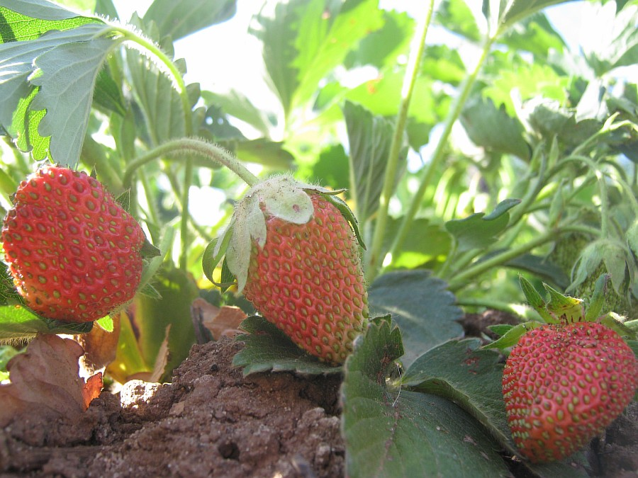 Кукмор, фотография, Аксанов Нияз, ягоды, природа, огород, сад, of IMG_2134
