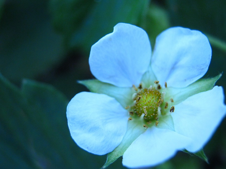 Кукмор, фотография, Аксанов Нияз, ягоды, природа, огород, сад, of IMG_2136