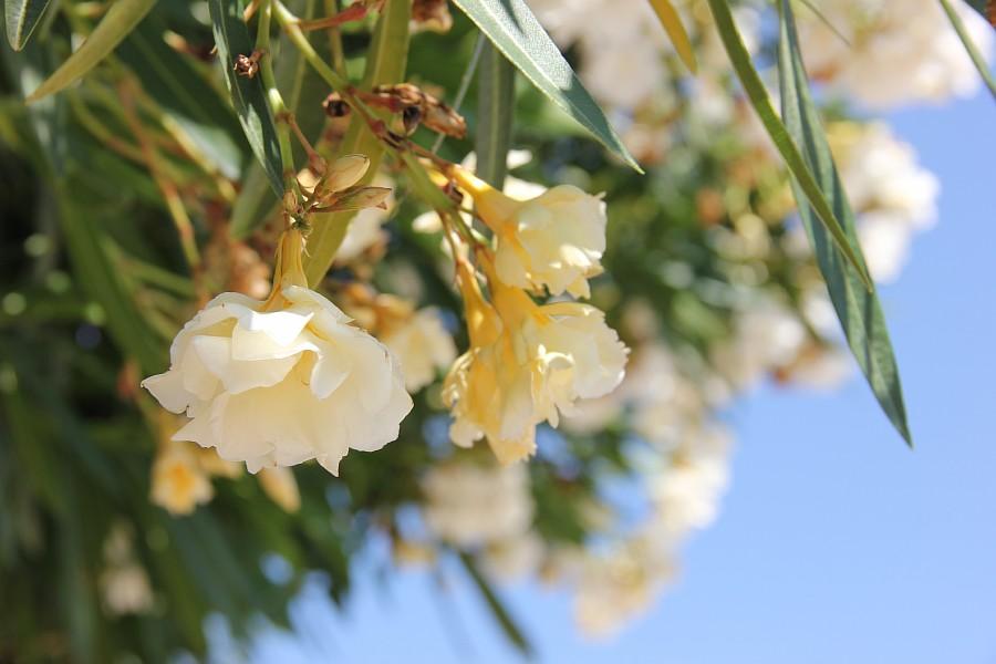 Цветы, Крит, фотография, Аксанов Нияз, путешествия, Греция, красота, kukmor, of IMG_7220