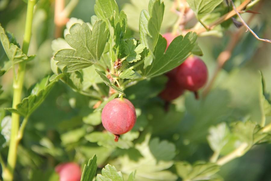 Кукмор, сад, ягоды, цветы, красота, фотография, Аксанов Нияз, kukmor, Татарстан,  of IMG_7812