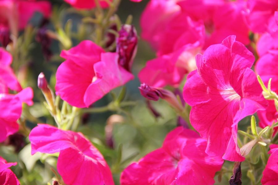 Кукмор, сад, ягоды, цветы, красота, фотография, Аксанов Нияз, kukmor, Татарстан,  of IMG_7824