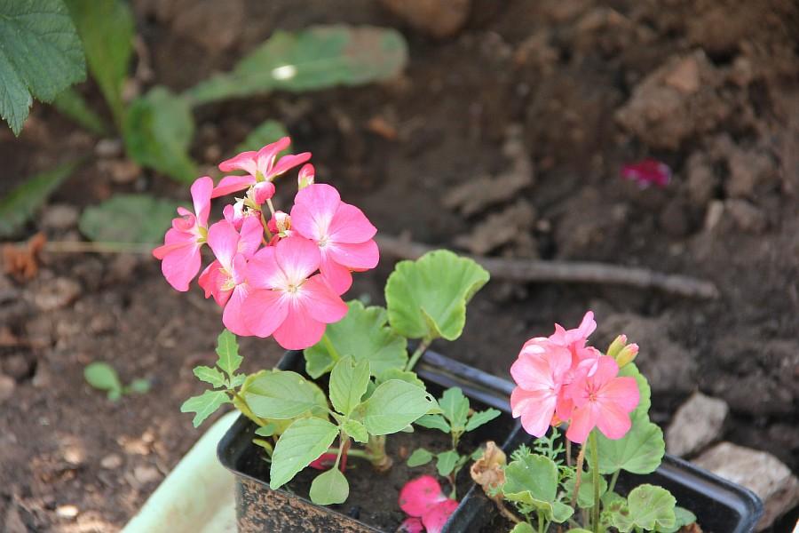 Кукмор, сад, ягоды, цветы, красота, фотография, Аксанов Нияз, kukmor, Татарстан,  of IMG_7836