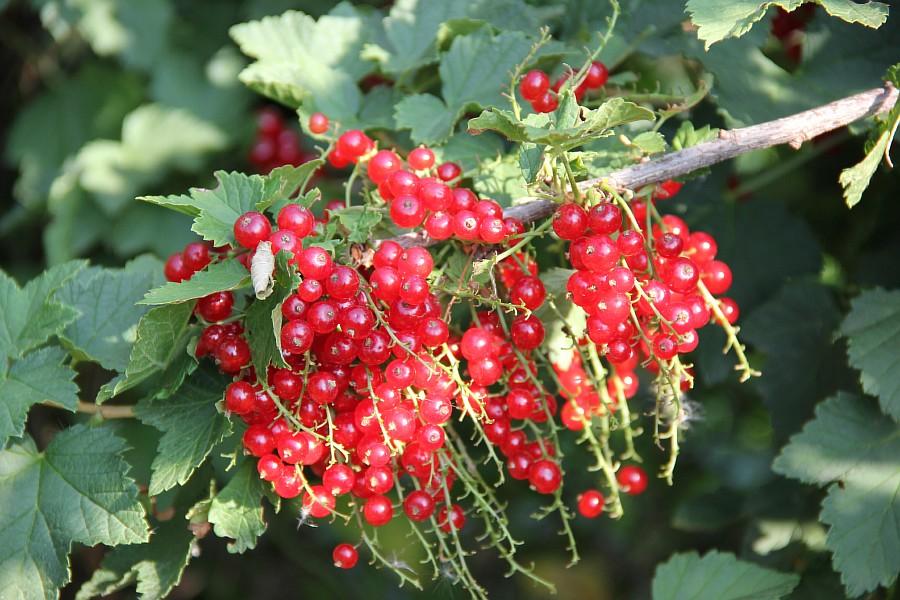 Кукмор, сад, ягоды, цветы, красота, фотография, Аксанов Нияз, kukmor, Татарстан,  of IMG_7865