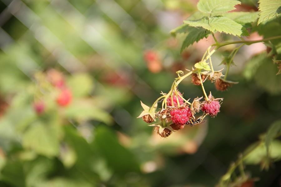 Кукмор, сад, ягоды, цветы, красота, фотография, Аксанов Нияз, kukmor, Татарстан,  of IMG_7867