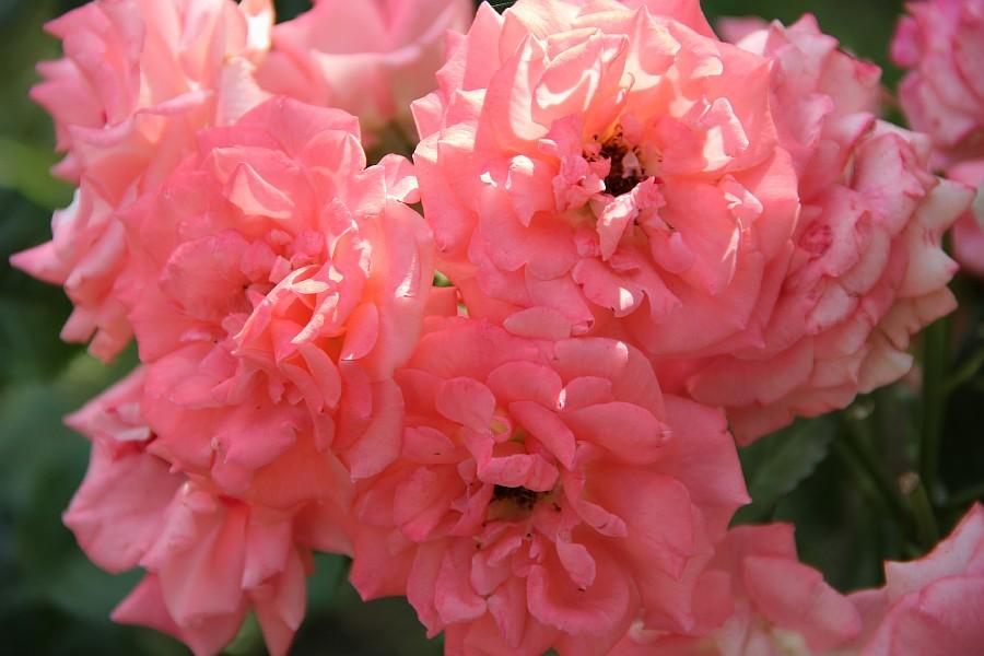 Кукмор, сад, ягоды, цветы, красота, фотография, Аксанов Нияз, kukmor, Татарстан,  of IMG_7871