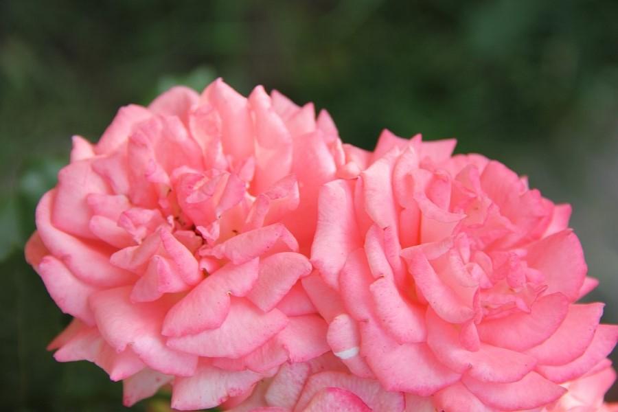 Кукмор, сад, ягоды, цветы, красота, фотография, Аксанов Нияз, kukmor, Татарстан,  of IMG_7877