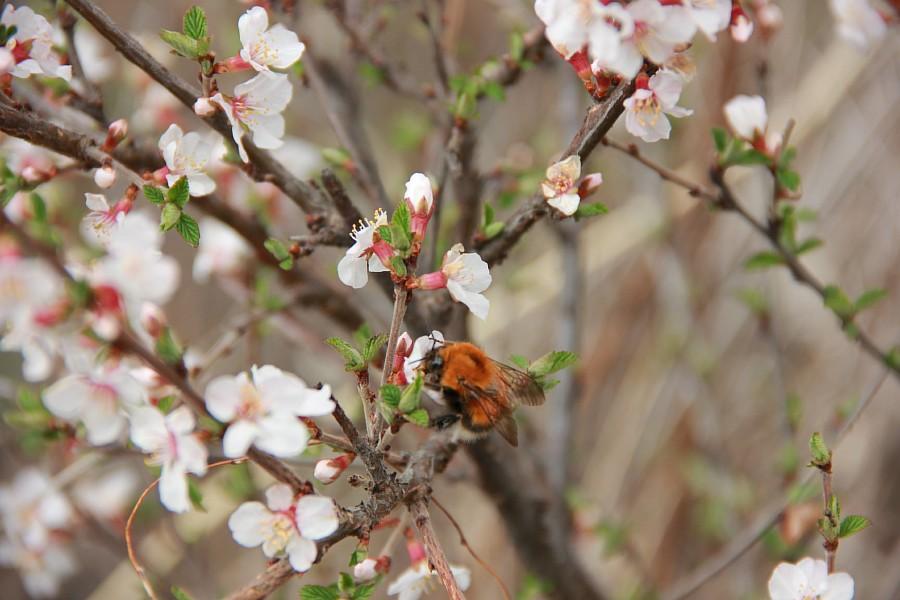 Алтай, дикая вишня, цветы, Катунь, горы, путешествия, Аксанов Нияз, фотография, kukmor,жж, of IMG_2095