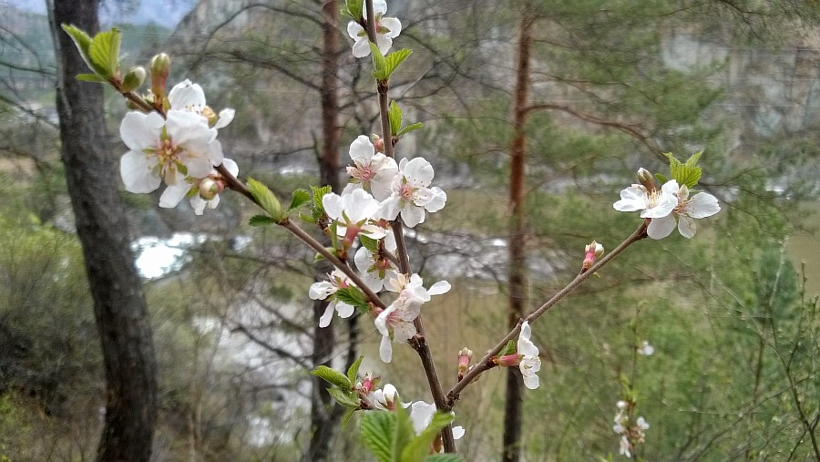 Алтай, дикая вишня, цветы, Катунь, горы, путешествия, Аксанов Нияз, фотография, kukmor,жж, of IMG_2100