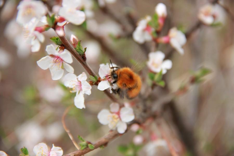Алтай, дикая вишня, цветы, Катунь, горы, путешествия, Аксанов Нияз, фотография, kukmor,жж, of IMG_2108