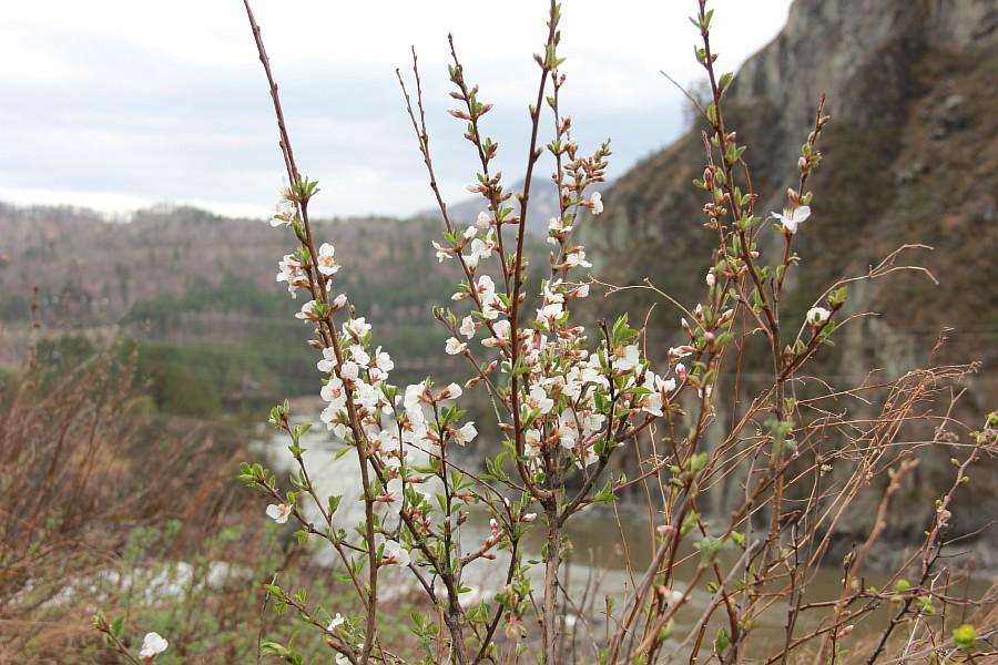 Алтай, дикая вишня, цветы, Катунь, горы, путешествия, Аксанов Нияз, фотография, kukmor,жж, of IMG_2109