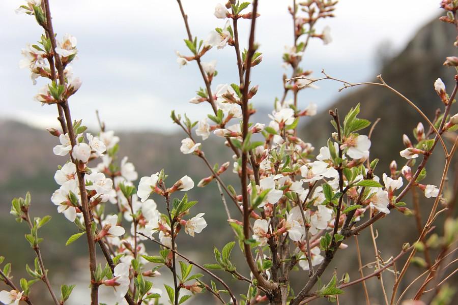 Алтай, дикая вишня, цветы, Катунь, горы, путешествия, Аксанов Нияз, фотография, kukmor,жж, of IMG_2155