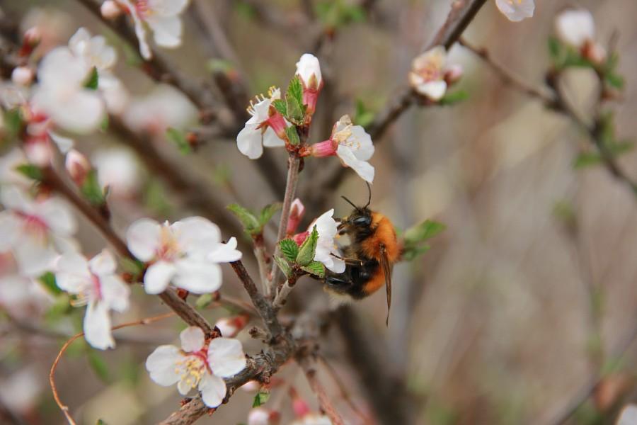Алтай, дикая вишня, цветы, Катунь, горы, путешествия, Аксанов Нияз, фотография, kukmor,жж, of IMG_2196