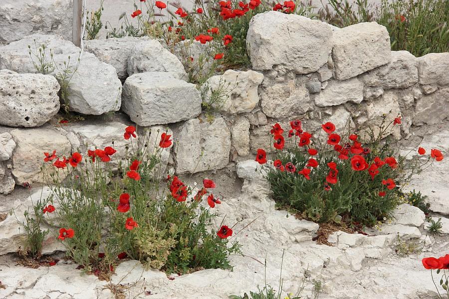 Маки, цветы, Херсонес, Севастополь, путешествия, фотография, Аксанов Нияз, of IMG_5981