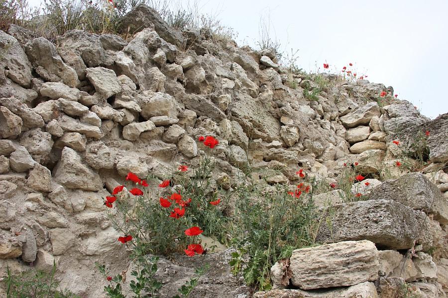 Маки, цветы, Херсонес, Севастополь, путешествия, фотография, Аксанов Нияз, of IMG_6973