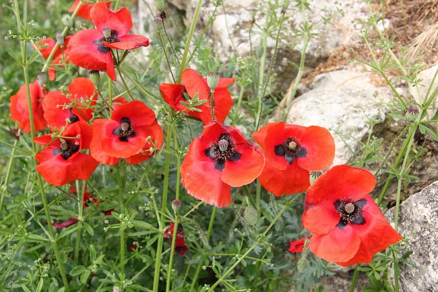Маки, цветы, Херсонес, Севастополь, путешествия, фотография, Аксанов Нияз, of IMG_6977