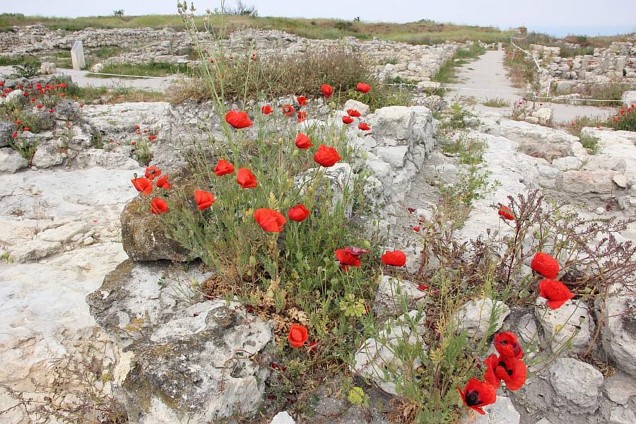 Маки, цветы, Херсонес, Севастополь, путешествия, фотография, Аксанов Нияз, of IMG_6979