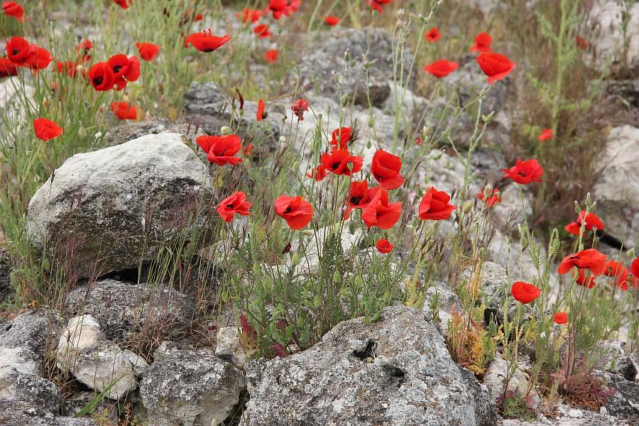 Маки, цветы, Херсонес, Севастополь, путешествия, фотография, Аксанов Нияз, of IMG_6982