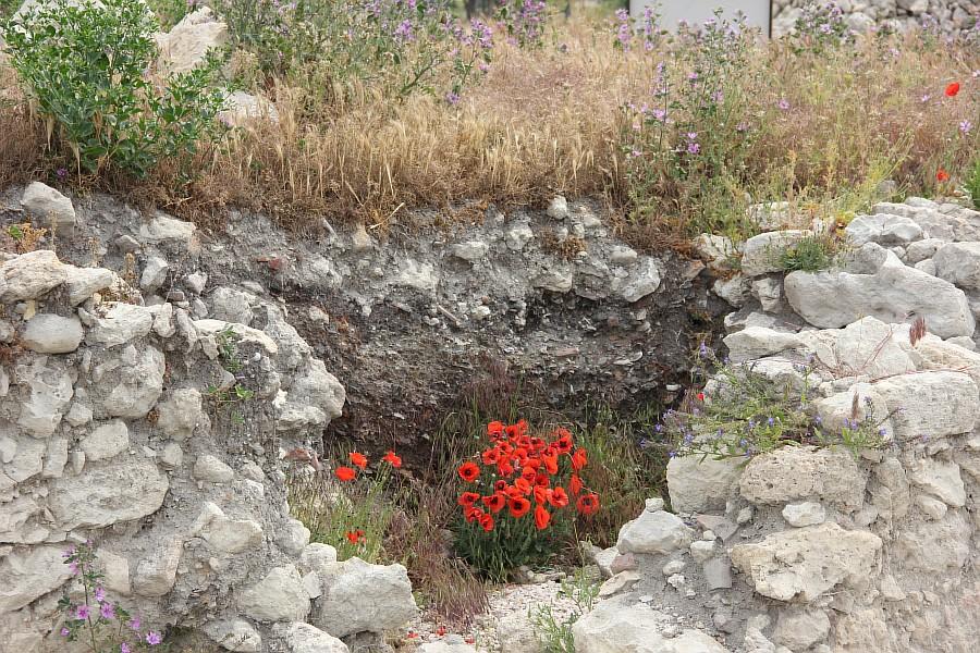 Маки, цветы, Херсонес, Севастополь, путешествия, фотография, Аксанов Нияз, of IMG_7004