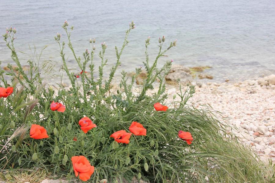Маки, цветы, Херсонес, Севастополь, путешествия, фотография, Аксанов Нияз, of IMG_7233