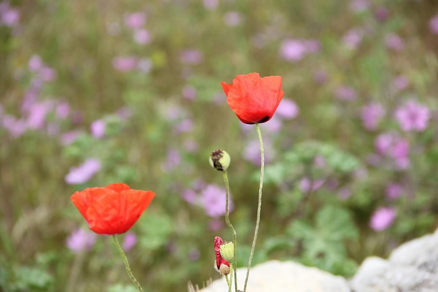 Маки, цветы, Херсонес, Севастополь, путешествия, фотография, Аксанов Нияз, of IMG_7318