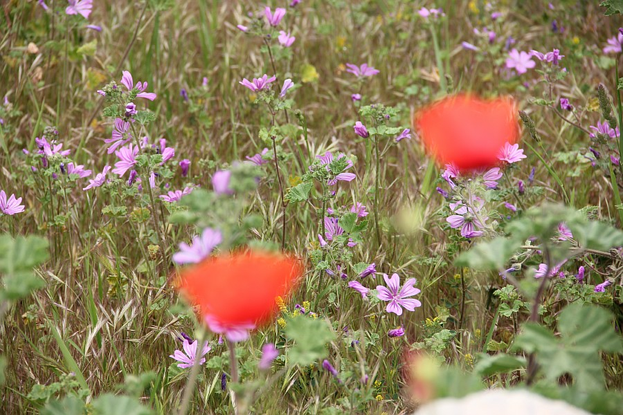 Маки, цветы, Херсонес, Севастополь, путешествия, фотография, Аксанов Нияз, of IMG_7319