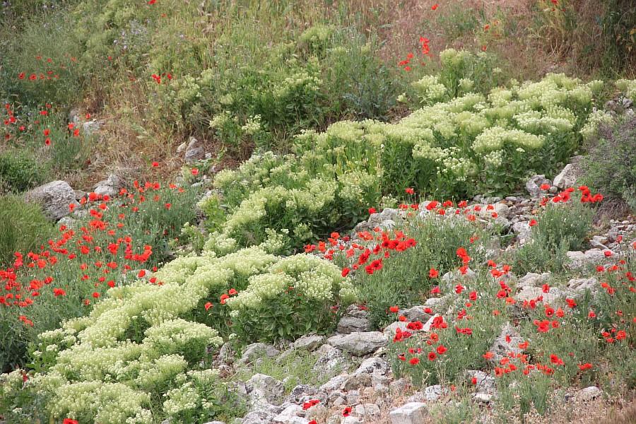 Маки, цветы, Херсонес, Севастополь, путешествия, фотография, Аксанов Нияз, of IMG_7346