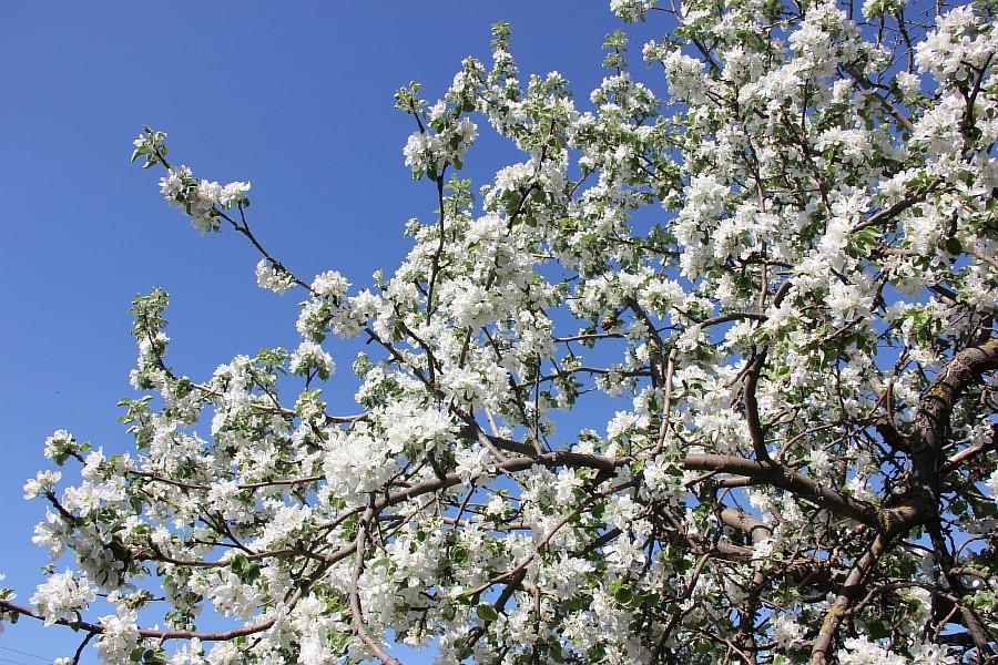 Кукмор, цветы, Аксанов Нияз, сад, of IMG_7768