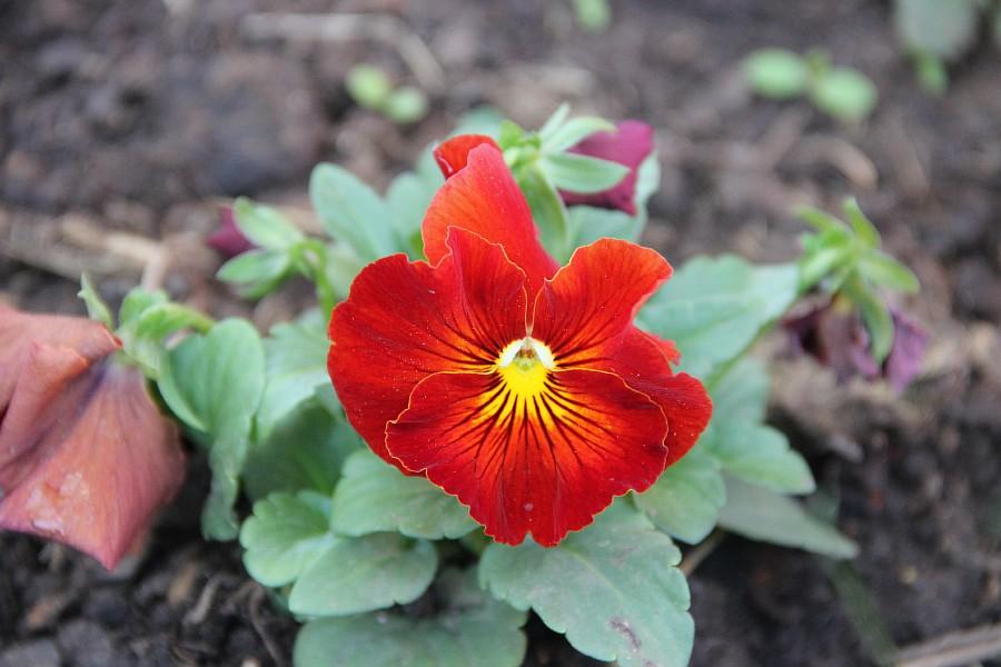Кукмор, цветы, Аксанов Нияз, сад, of IMG_7781