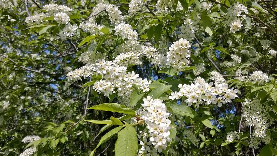черемуха цветет в санкт петербурге фото еще диагнозам той