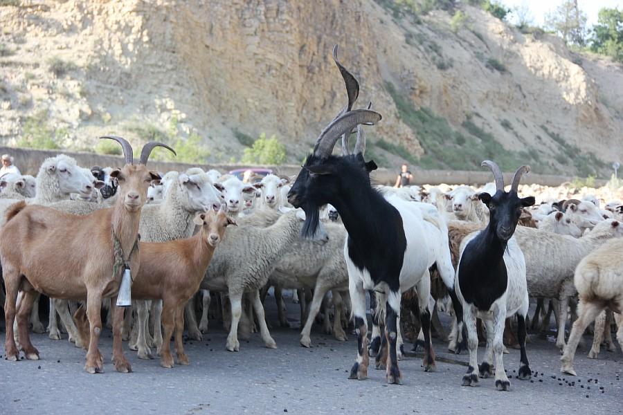 Дагестан, путешествия, автодорогы. бараны, фотография, Аксанов Нияз, kukmor, горы, чирейское водохранилище, сулакский каньон, of IMG_4704