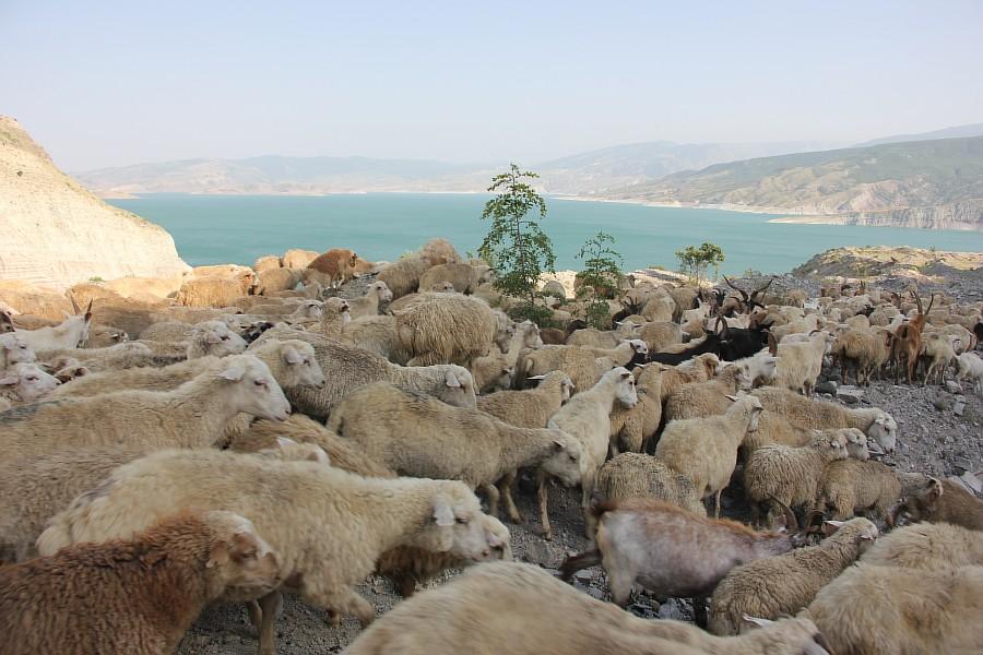 Дагестан, путешествия, автодорогы. бараны, фотография, Аксанов Нияз, kukmor, горы, чирейское водохранилище, сулакский каньон, of IMG_4772