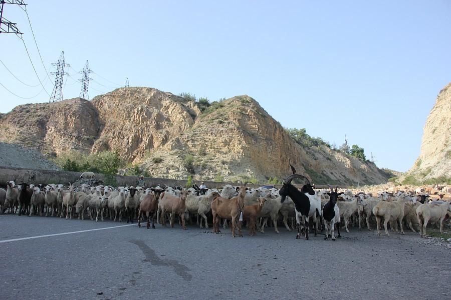 Дагестан, путешествия, автодорогы. бараны, фотография, Аксанов Нияз, kukmor, горы, чирейское водохранилище, сулакский каньон, of IMG_4906
