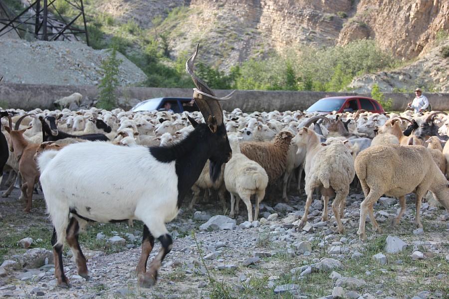 Дагестан, путешествия, автодорогы. бараны, фотография, Аксанов Нияз, kukmor, горы, чирейское водохранилище, сулакский каньон, of IMG_4917