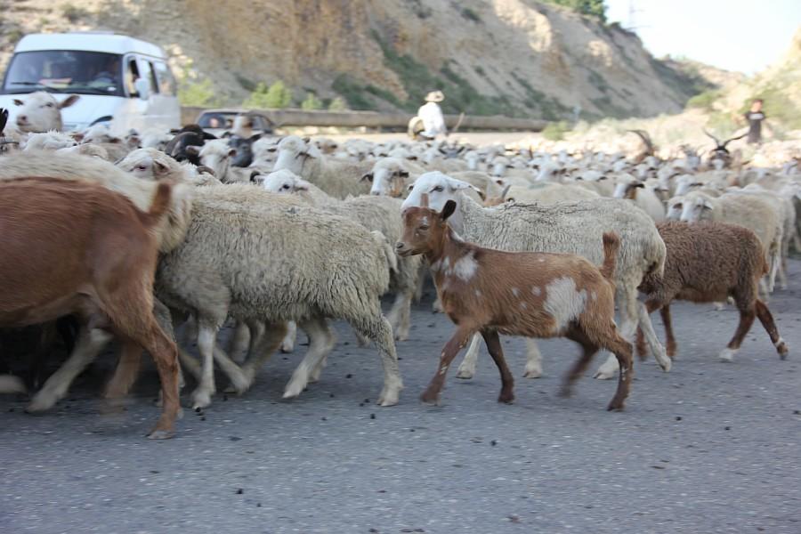 Дагестан, путешествия, автодорогы. бараны, фотография, Аксанов Нияз, kukmor, горы, чирейское водохранилище, сулакский каньон, of IMG_4937