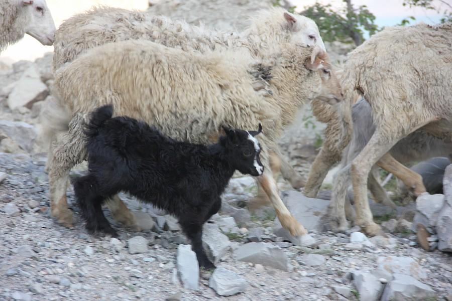 Дагестан, путешествия, автодорогы. бараны, фотография, Аксанов Нияз, kukmor, горы, чирейское водохранилище, сулакский каньон, of IMG_4954
