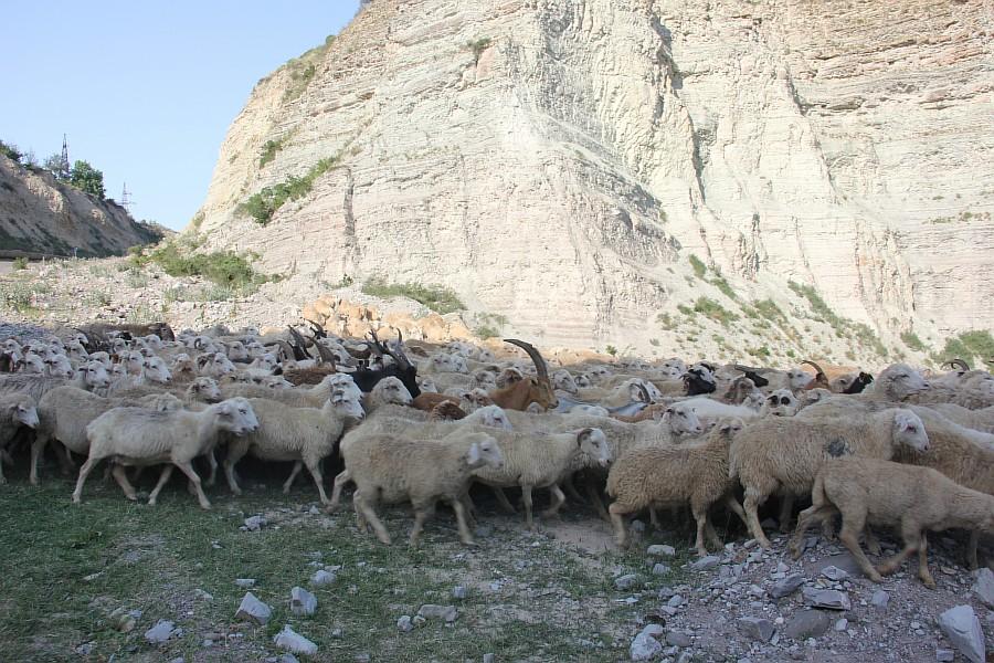 Дагестан, путешествия, автодорогы. бараны, фотография, Аксанов Нияз, kukmor, горы, чирейское водохранилище, сулакский каньон, of IMG_4958