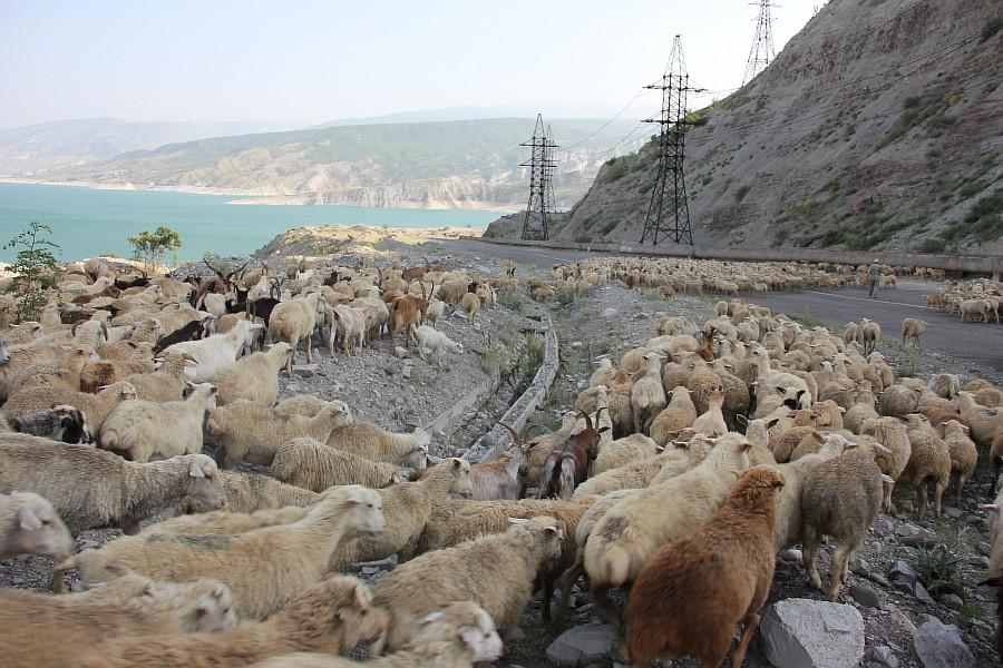 Дагестан, путешествия, автодорогы. бараны, фотография, Аксанов Нияз, kukmor, горы, чирейское водохранилище, сулакский каньон, of IMG_4974