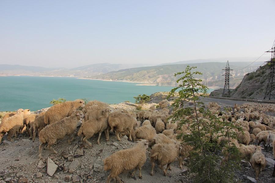Дагестан, путешествия, автодорогы. бараны, фотография, Аксанов Нияз, kukmor, горы, чирейское водохранилище, сулакский каньон, of IMG_4976
