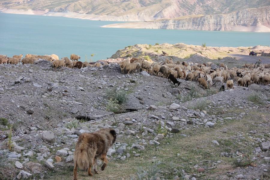 Дагестан, путешествия, автодорогы. бараны, фотография, Аксанов Нияз, kukmor, горы, чирейское водохранилище, сулакский каньон, of IMG_4987